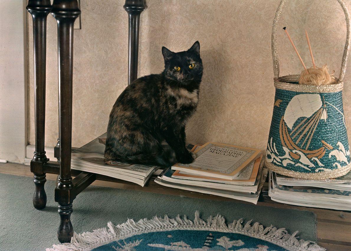 """Uma gata tortoiseshell chamada Joseph descansa sobre uma prateleira em Washington, D.C. """"Somente de joelhos é ..."""
