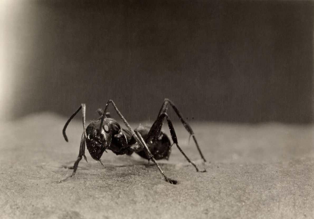 Também conhecida como a formiga de fogo europeia, a formiga vermelha comum também é encontrada na ...