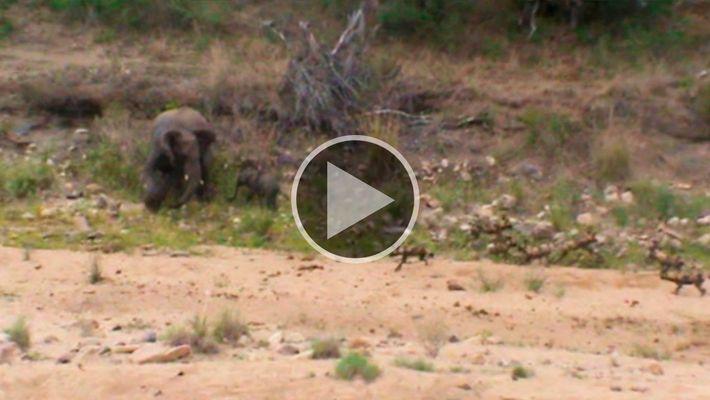 Assista e ouça: elefantes protegem filhote de um bando de mabecos
