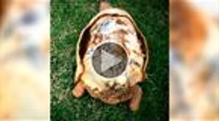 Cientistas criam nova carapaça para tartaruga com impressora 3D