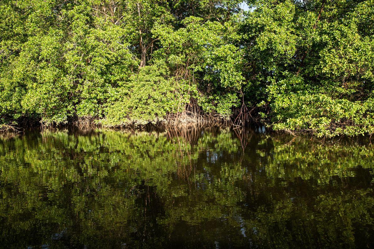 Diversos manguezais foram afetados pelo vazamento de petróleo na costa brasileira, prejudicando a vida marinha e …