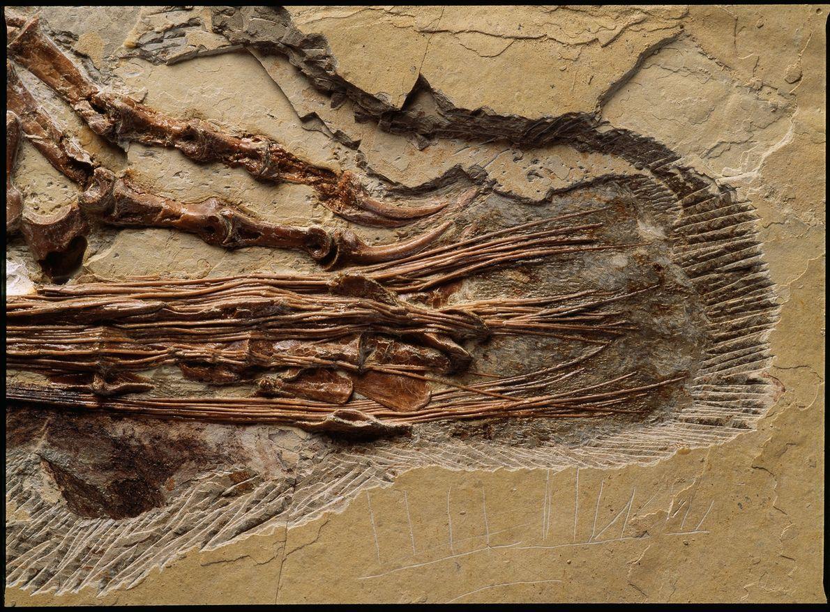 Um close-up mostra a região da cauda do dinossauro chinês cretáceo, Sinornithosaurus millenii. Este parente do ...