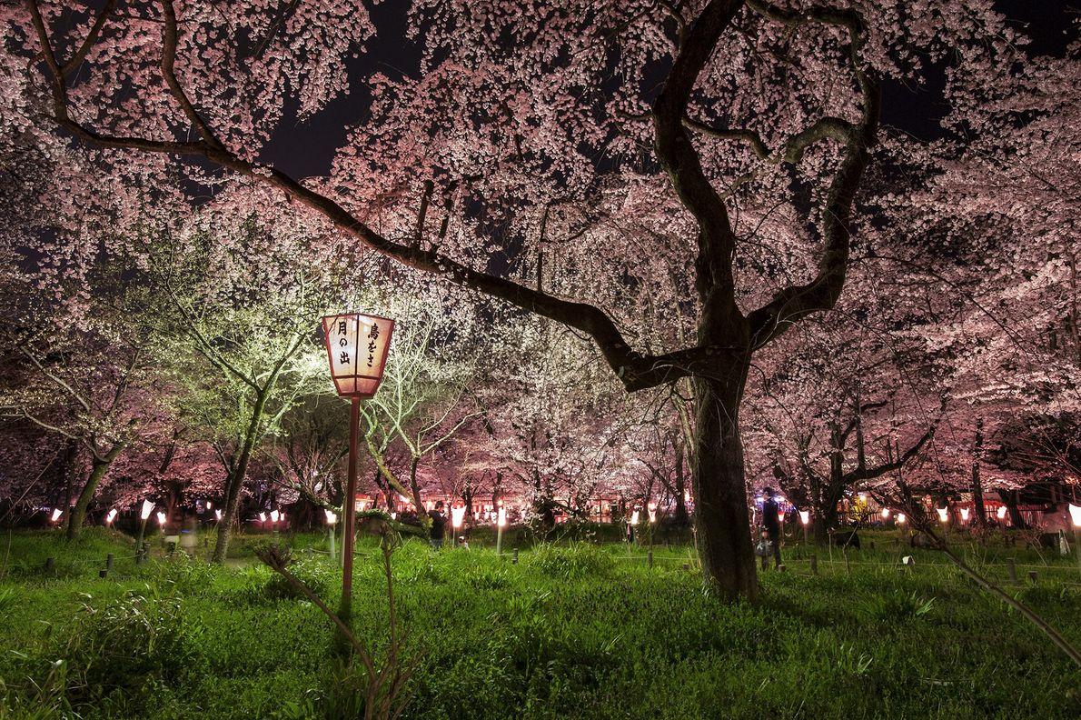 cerejeira floresce no Japão