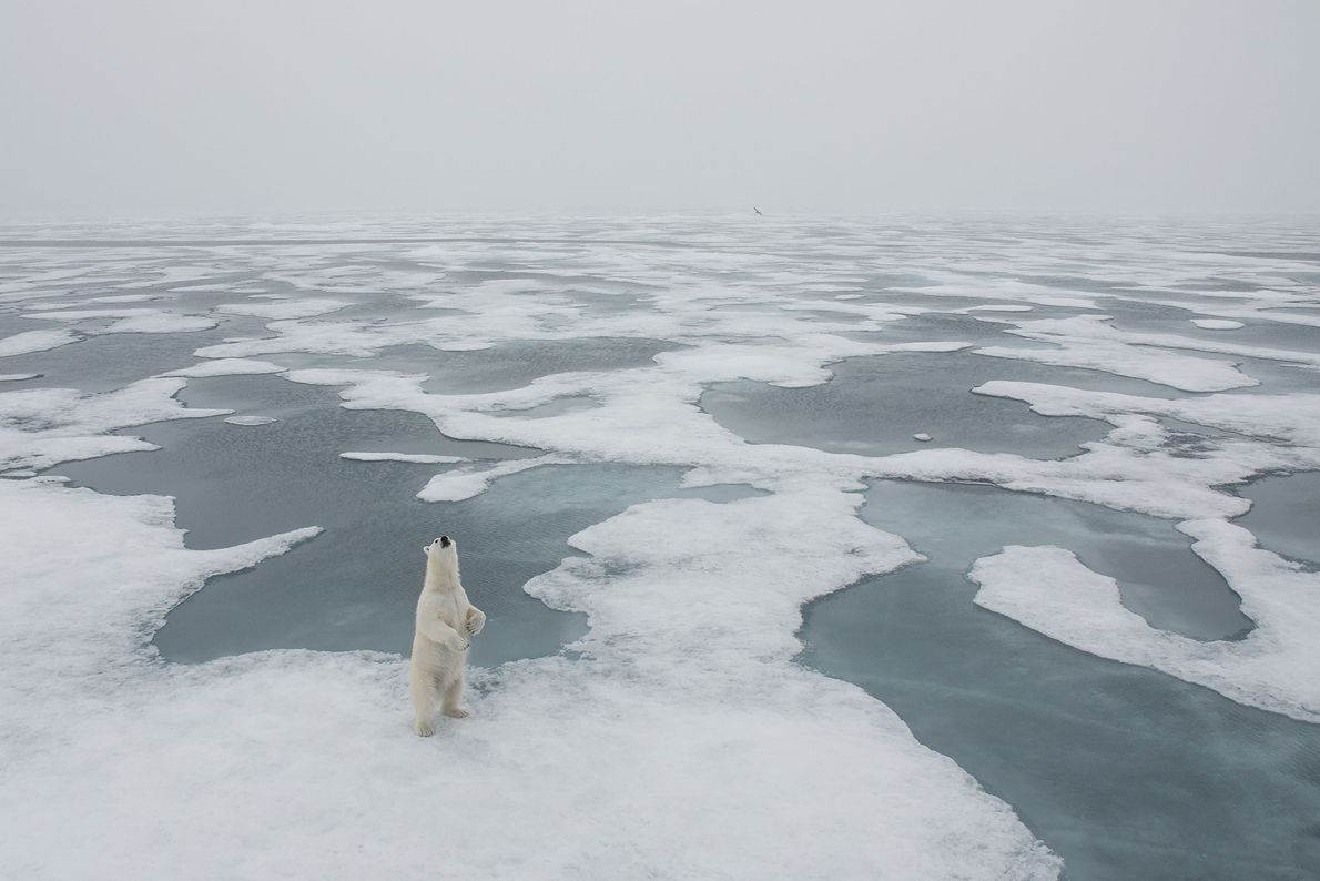 Urso-polar. Longyearbyen, Svalbard, Svalbard e Jan Mayen