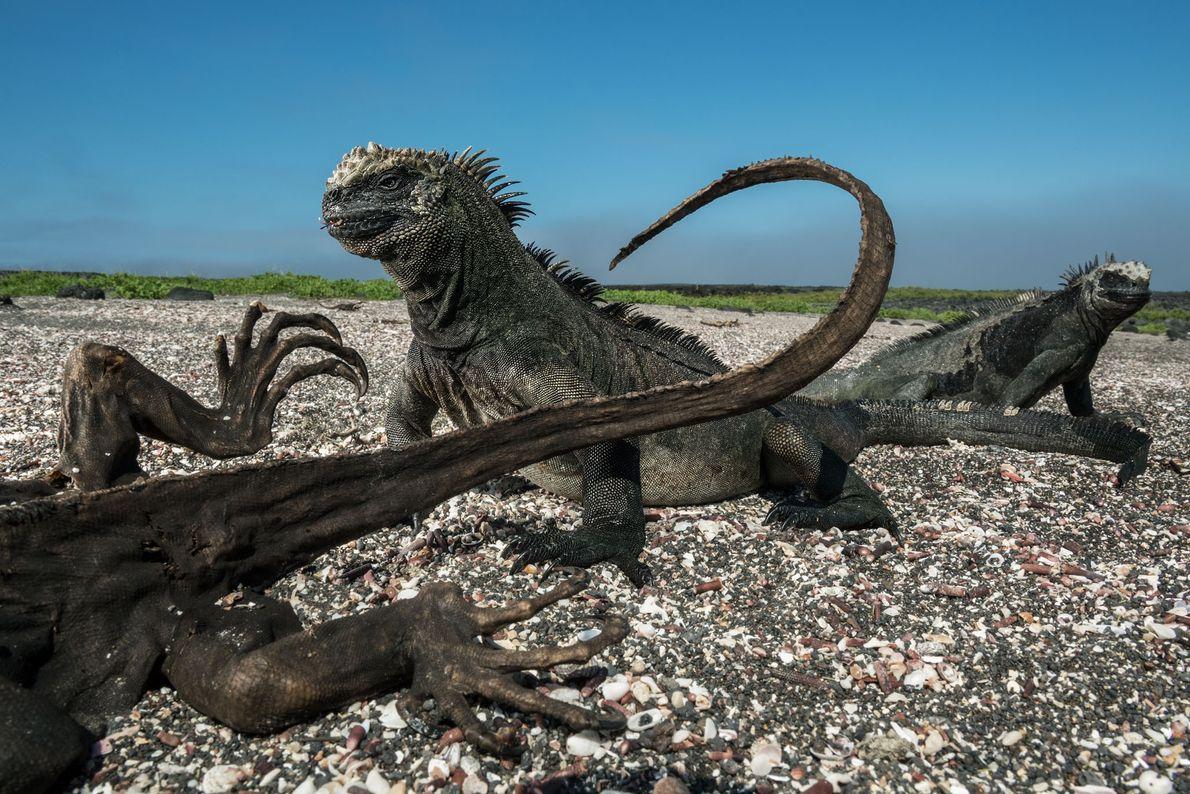 Duas iguanas-marinhas parecem impassíveis diante da presença de um de seus pares mumificados, provavelmente morto de ...