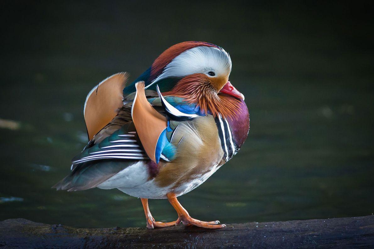 Mandarin duck. Dublin, Leinster, Ireland