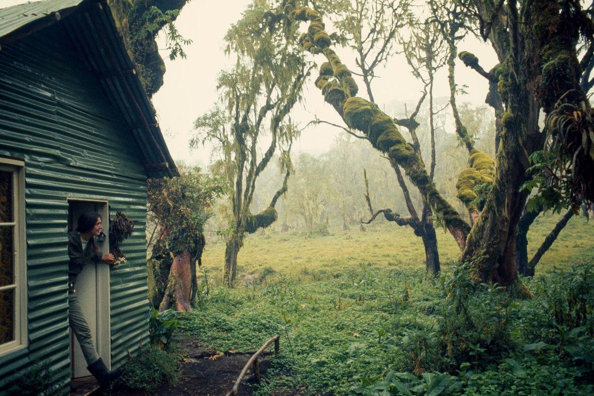 A porta da casa de Fossey dava para a selva do Parque Nacional dos Vulcões, em ...