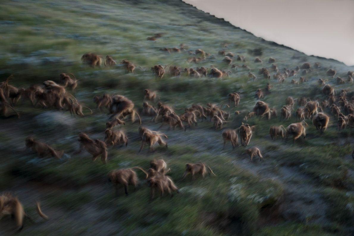 Conforme a noite cai em Guassa, macacos geladas partem em disparada ladeira abaixo em direção às ...