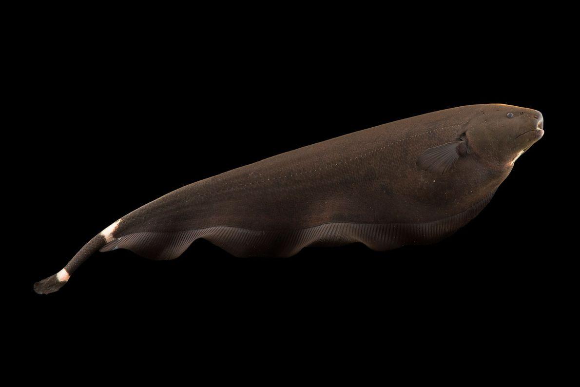 A black ghost knifefish (Apteronotus albifrons) at River Safari