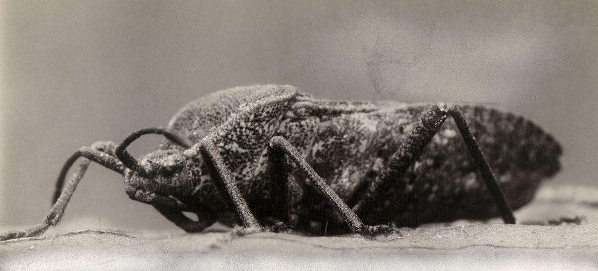 Anasa, comum nos Estados Unidos, gosta de comer plantas da família da abóbora.