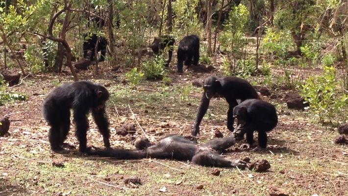 Depois de assassinar rival, chimapanzés mexem com cadáver em vídeo raro