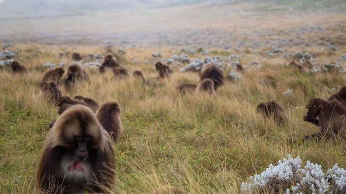 Incrível time-lapse dos macacos geladas nas terras altas da Etiópia