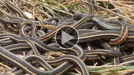 Espécie de cobra está vivendo pouco por motivo surpreendente: sexo demais