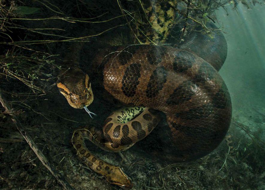 Sucuri estrangula macho em baixo d'água