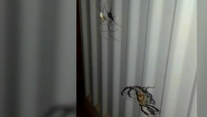Aranha enfrenta escorpião
