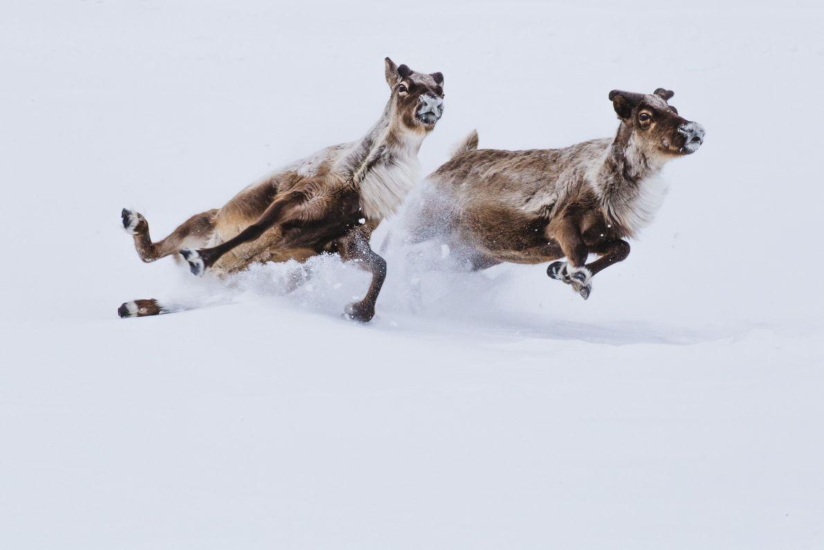 Foto de duas renas escorregando ao correr pela neve
