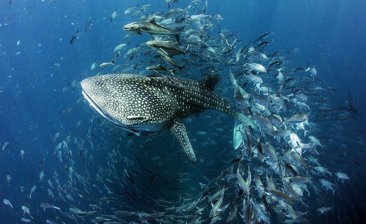 Foto de um tubarão-baleia nadando por um cardume de peixes