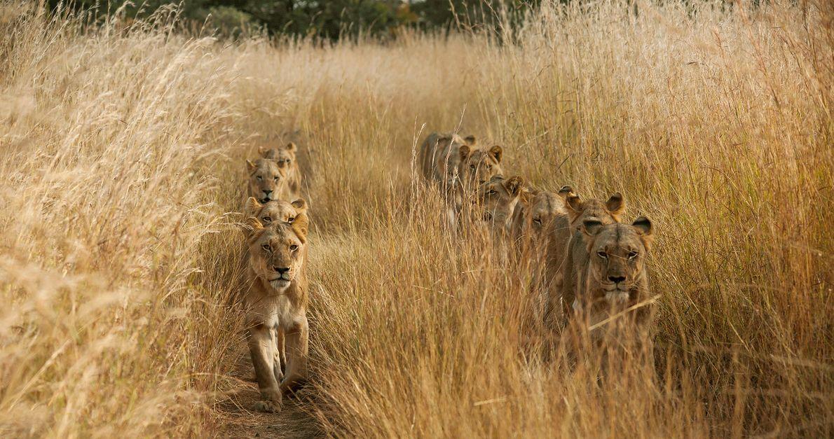 Imagem de leões caminhando em duas linhas na grama alta da Zâmbia