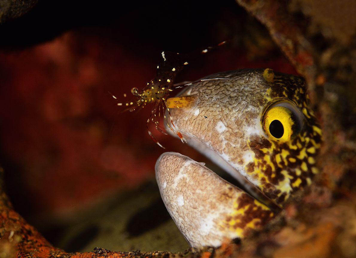 foto de uma moreia e um camarão-limpador