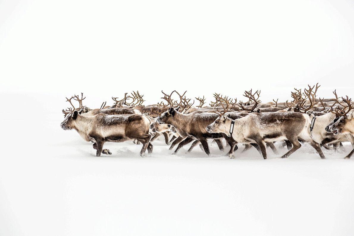 Foto de manada de 350 renas migra para novas pastagens na Suécia