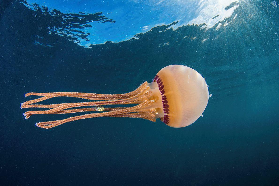 Foto de um peixe nadando dentro dos tentáculos de uma água-viva