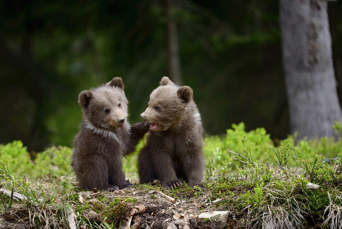 Foto de filhotes de urso-pardo