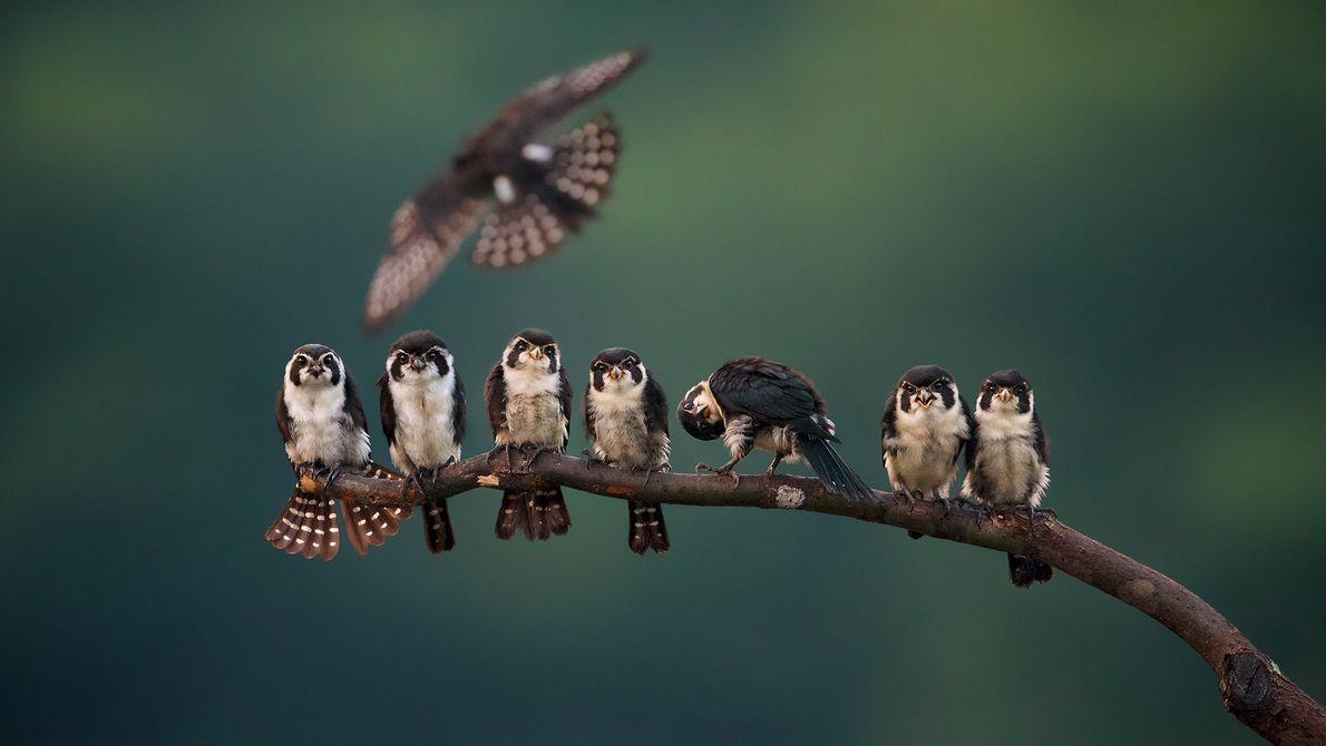 Imagem de falconetes sentados em uma ramificação de árvore