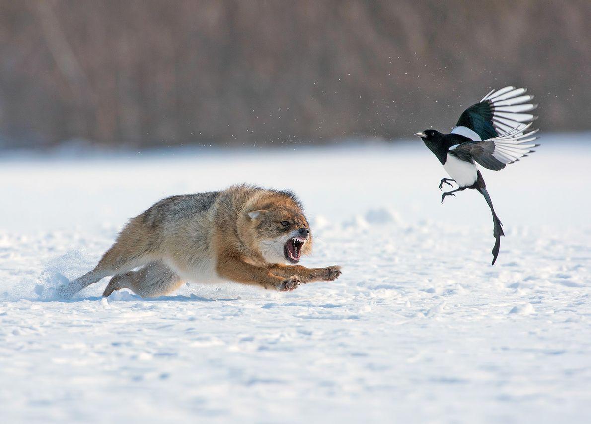 Imagem de um chacal perseguindo um pássaro na neve
