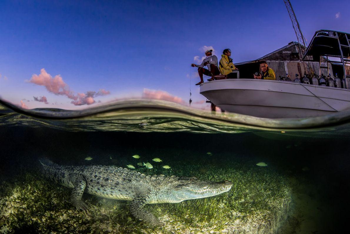 Imagem de um crocodilo americano em água sob um barco