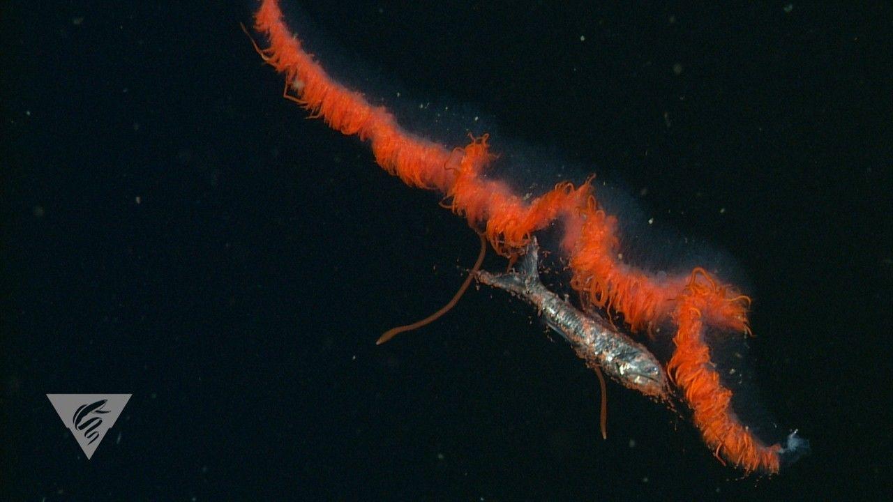 Conheça os hábitos alimentares secretos das criaturas abissais | National Geographic