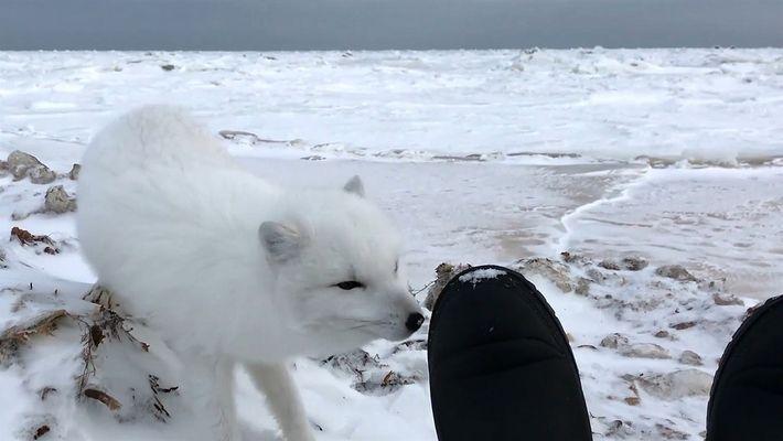 Fique cara a cara com uma raposa-do-ártico