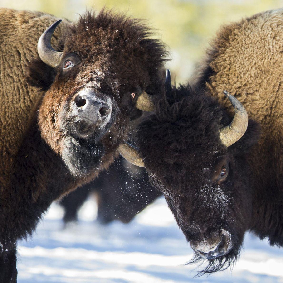 galeria-de-fotos-animais-em-acao-bisoes
