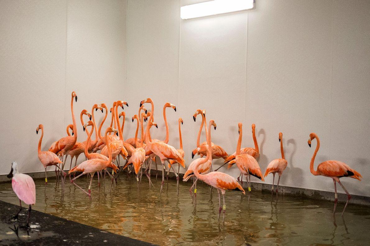 Flamingos em abrigo de zoológico em Miami, na Flórida, em dia 9 de setembro.