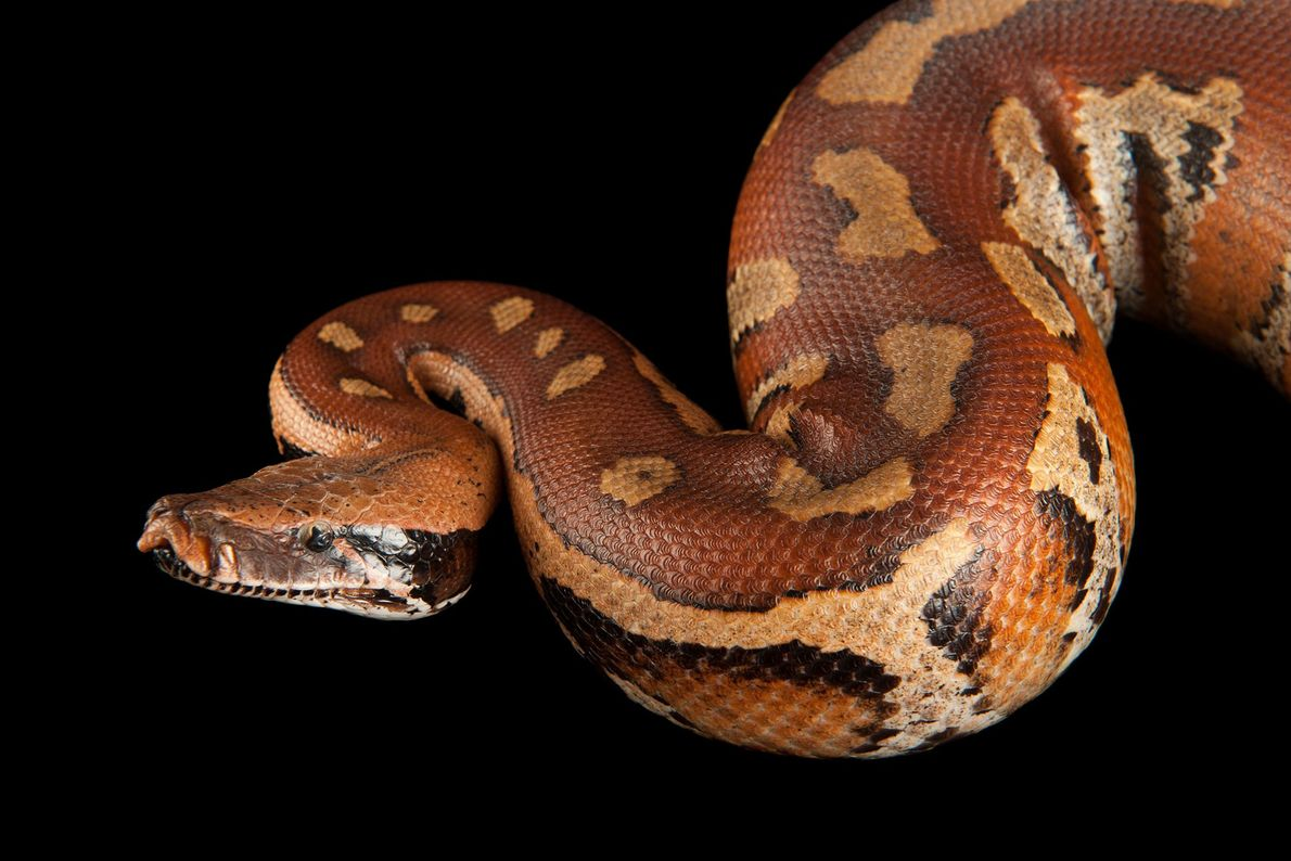 A blood python (Python curtus) at Omaha Henry Doorly Zoo