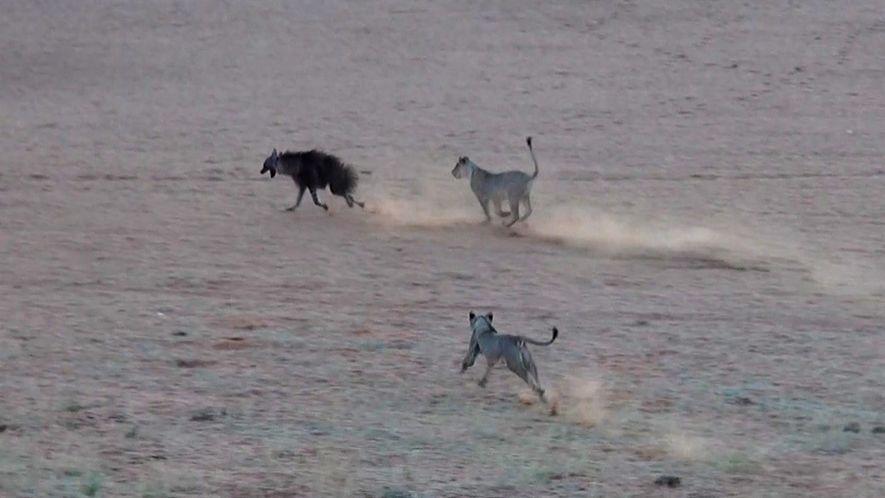 Hiena-castanho invade território de leoas, e uma tensa perseguição se inicia