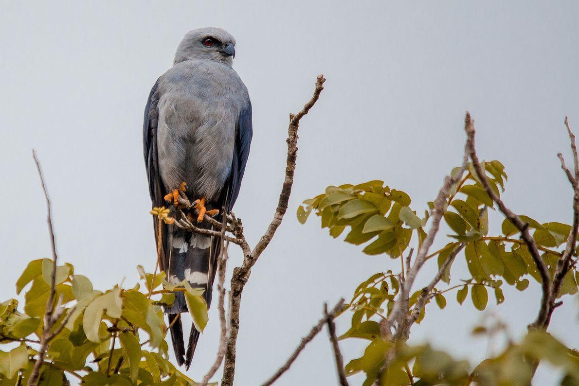 Ictinia plumbea, conhecido como sovi ou gavião-pomba, em Terenos, Mato Grosso do Sul.