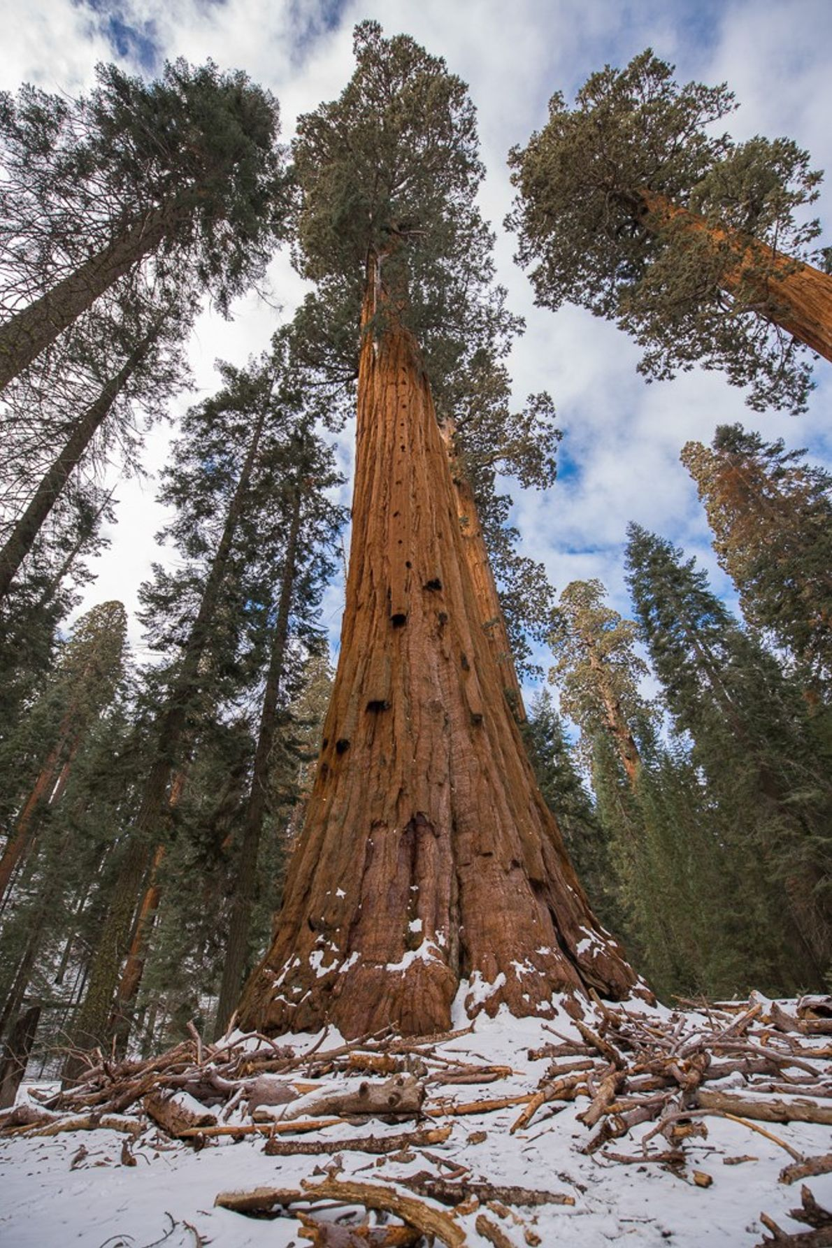 sequoia gigante na california