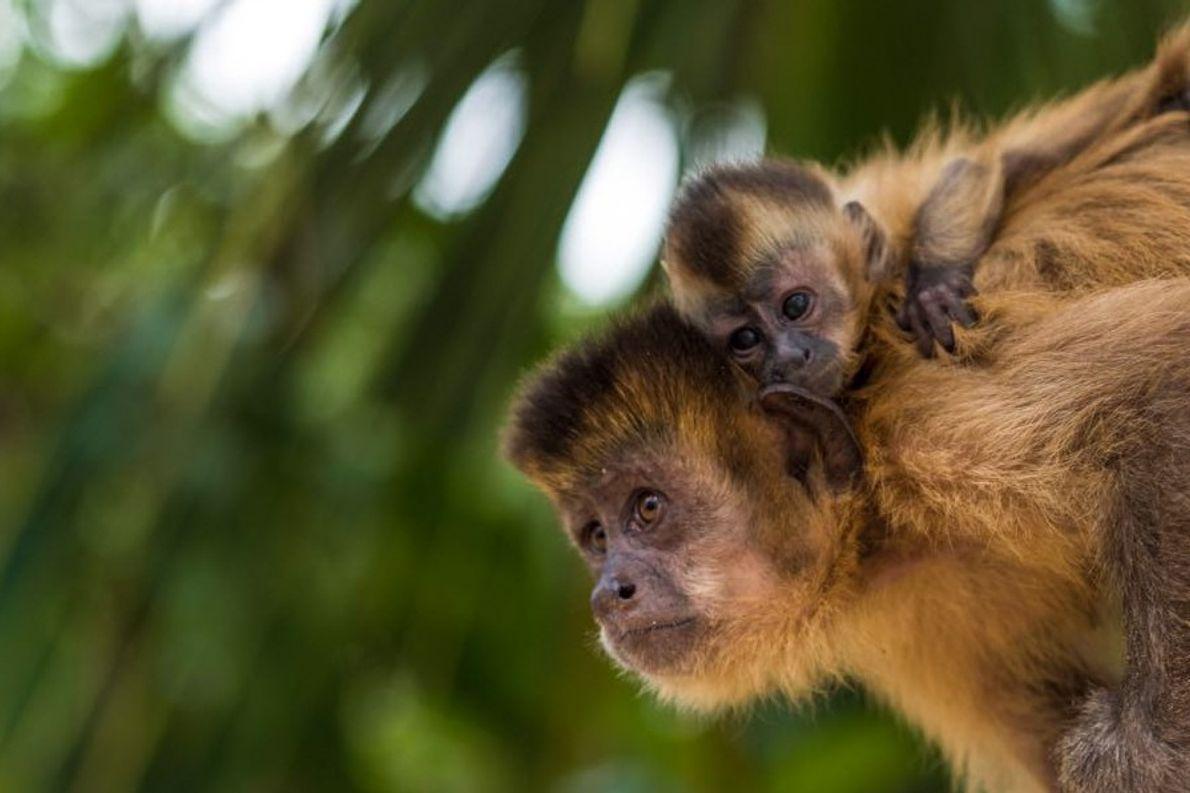 macaco-prego e filhote