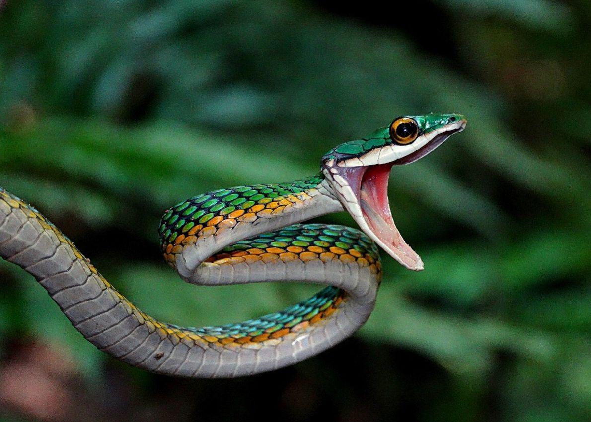 Serpente azulão-boia