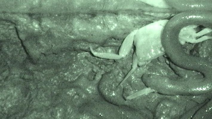 Esta cobra come caranguejos de uma forma diferente