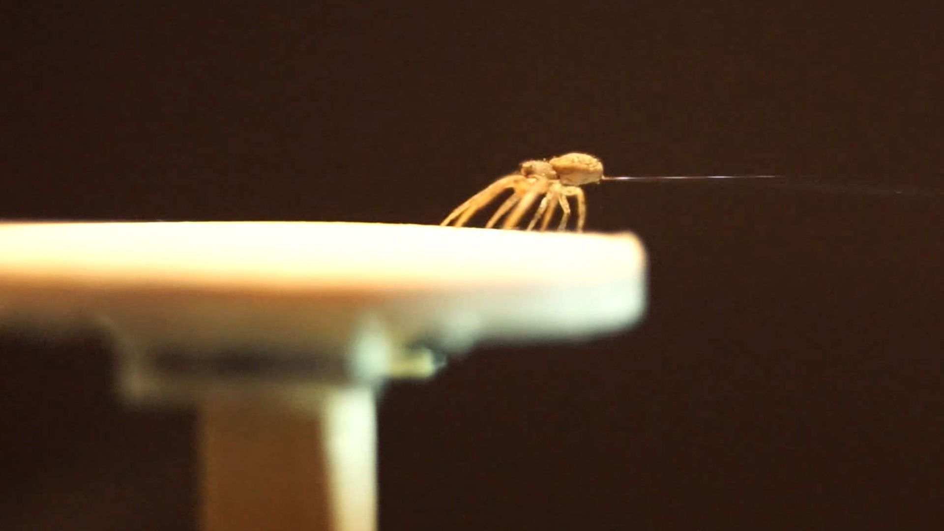 Vídeo mostra aranha-caranguejo fazendo balões de seda para voar | National Geographic