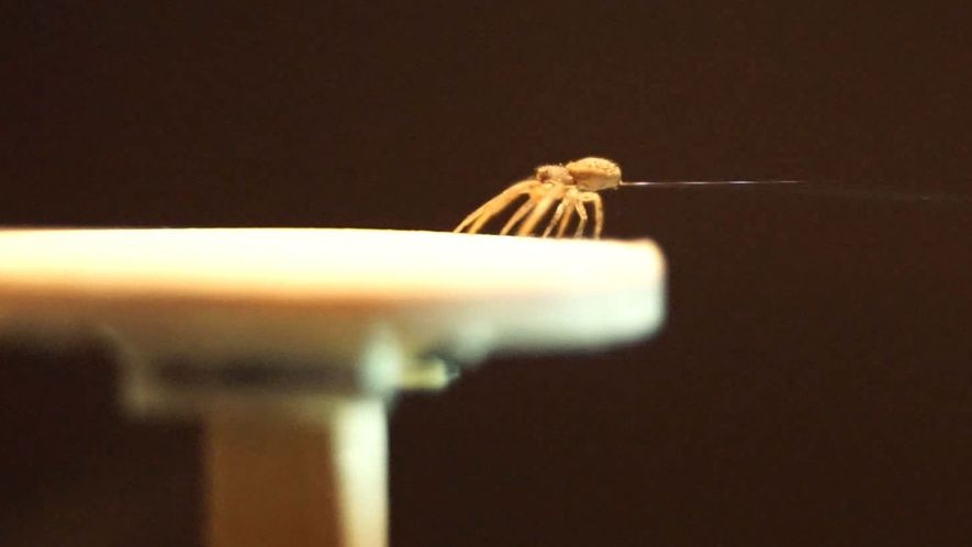 Aranha-caranguejo faz balões de seda para voar