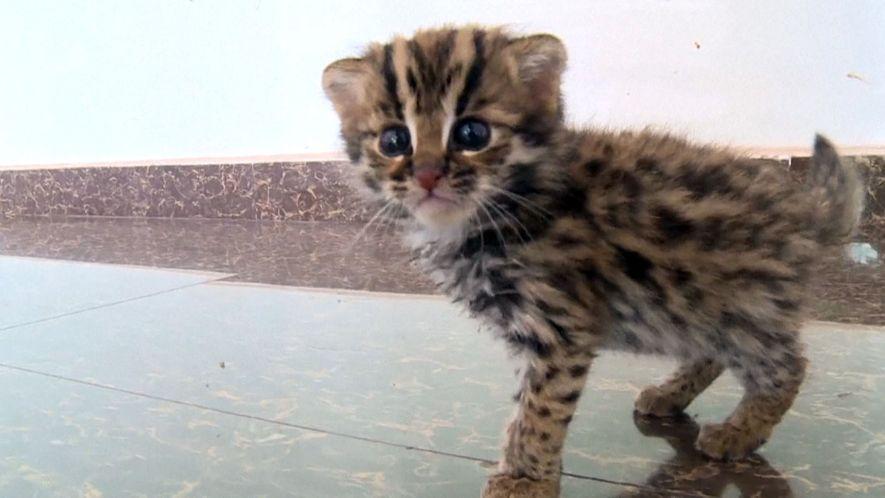Este gatinho resgatado não é qualquer um – é um gato-leopardo selvagem