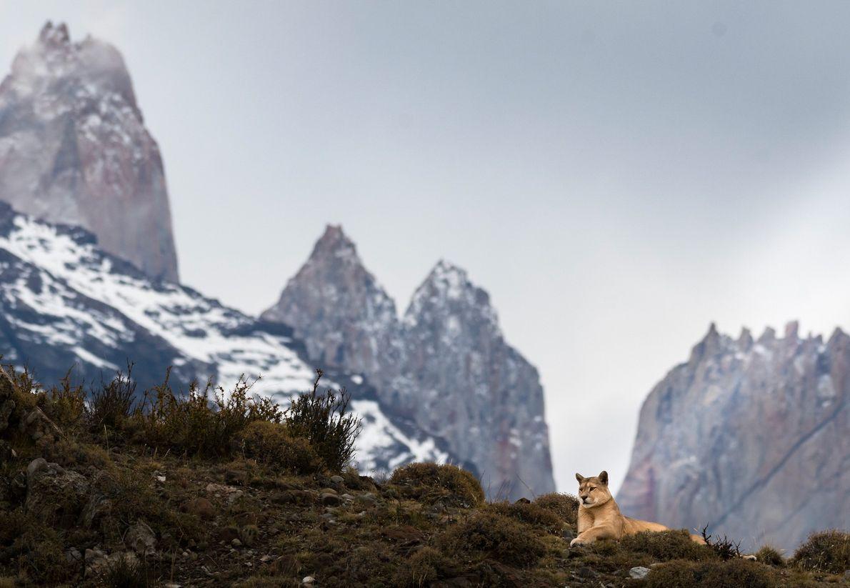 Puma descansa na paisagem de Torres del Paine, no Chile