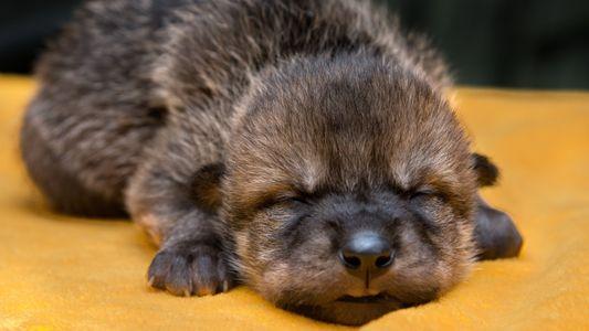 Veja filhotes do raro lobo-mexicano encontrando suas famílias adotivas