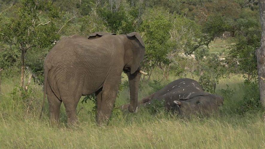 Elefantes demonstram luto? Estas imagens sugerem que sim