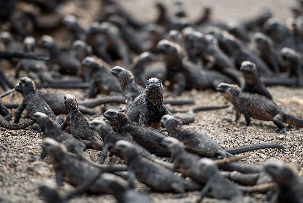 Iguanas-marinhas em Galápagos
