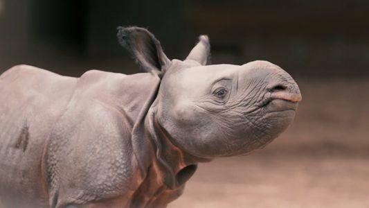 Fofo, mas quase extinto: filhote de rinoceronte-negro-oriental nasce em zoológico