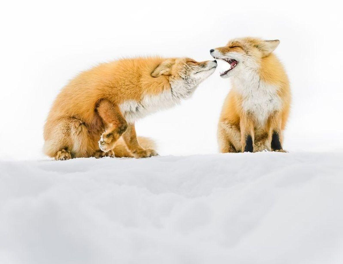 Raposas vermelhas selvagens brincam na neve em Hokkaido, extremos norte das ilhas japonesas. Raposas são comuns ...