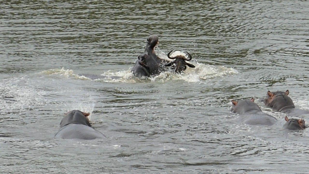 Atacado por dois crocodilos, Gnu escapa da morte em vídeo dramático | National Geographic